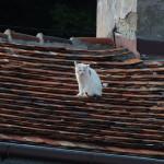 Biały kot na orłowskim dachu z czerwonych dachówek. Czerwiec, 2013.