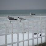 Luty 2010. Mewi punkt obserwacyjny. Wiosny nie widać . Trzy mewy na balustradzie pomostu patrzą, w jednym kierunku.