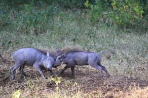 Małe guźce – jak to jest u wszystkich gatunków ssaków – są piękne. Guźce można spotkać na sawannie, stepie a czasem i na terenie błotnistym.