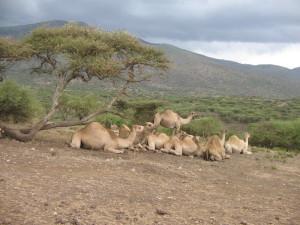 Wielbłądy hodowlane, do prac gospodarskich.