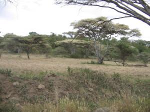 afryańskie akacje