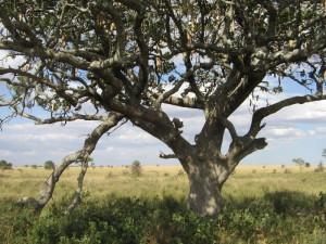 """Drzewo parówkowe (w języku Suahili mwega). Według Afrykańczyków, owoce mają właściwości lecznicze. Jedzą je hipopotamy, słonie i pawiany. Żyrafy żują tylko młode """"parówki"""". A Masaje z gąbczastych w smaku owoców robią piwo."""