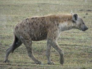 Hiena cętkowana w deszczu.