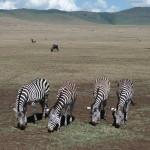 Na pierwszym planie zebry. Na drugim – antylopy gnu.