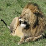 Ten lew dał się sfotografować w tylu wyśmienitych pozach, że aż trudno wybrać jedno zdjęcie. Więcej pokażę w galerii lwów (jak ją utworzę).