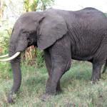 Słoń.