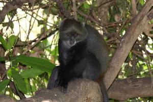 Różne w życiu małpy znałam, ale tej nie umiem dokładnie nazwać. Chyba koczkodan górski.
