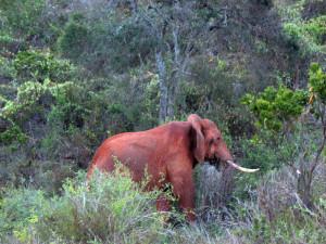 """Mówią o takim """"słoń różowy"""". Po prostu wytytłał się w tej pięknej afrykańskiej ziemi i wziął ją na siebie."""
