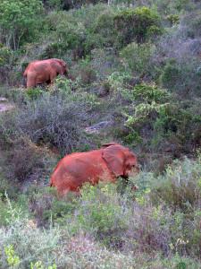 Różowe słonie chodzą piętrowo.
