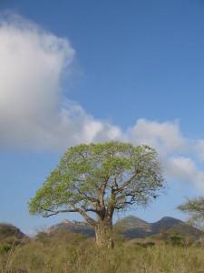 Drobne liście u tego olbrzymiego drzewa wskazują na jego oszczędną gospodarkę wodą.
