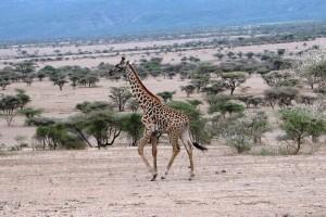 Podobno afrykański bóg żyrafę stworzył jako drugą – po antylopie eland.