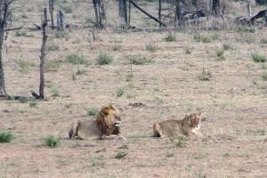 Lew i lwica w Afryce.