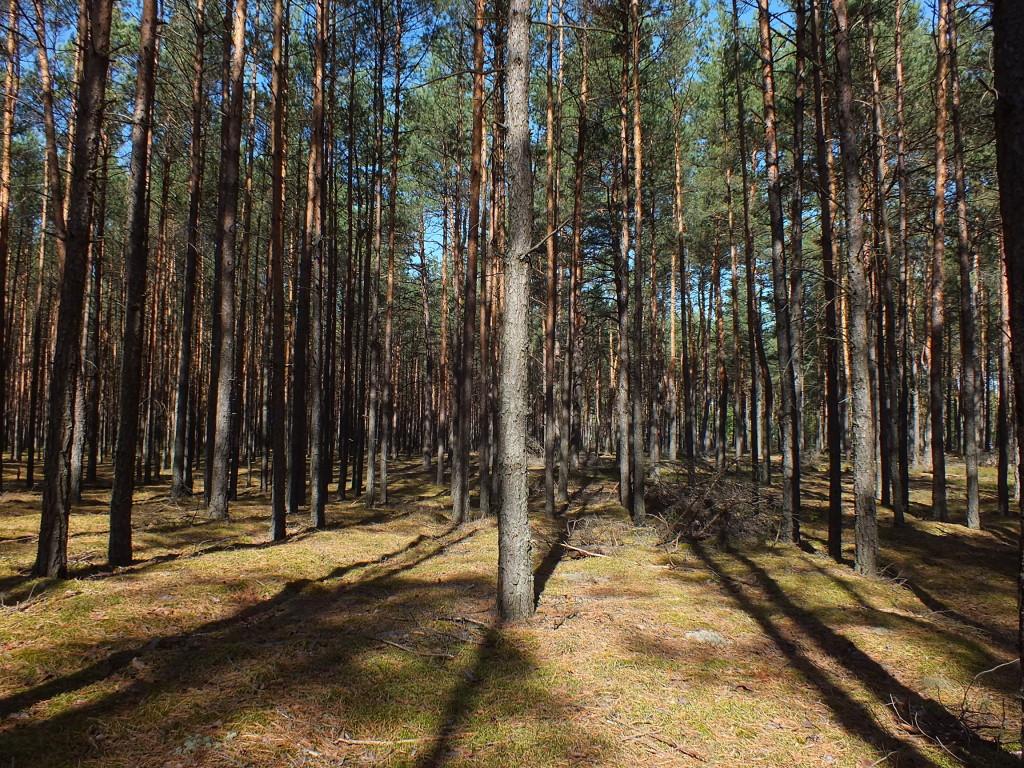 Las w drodze na Sokołów Podlaski