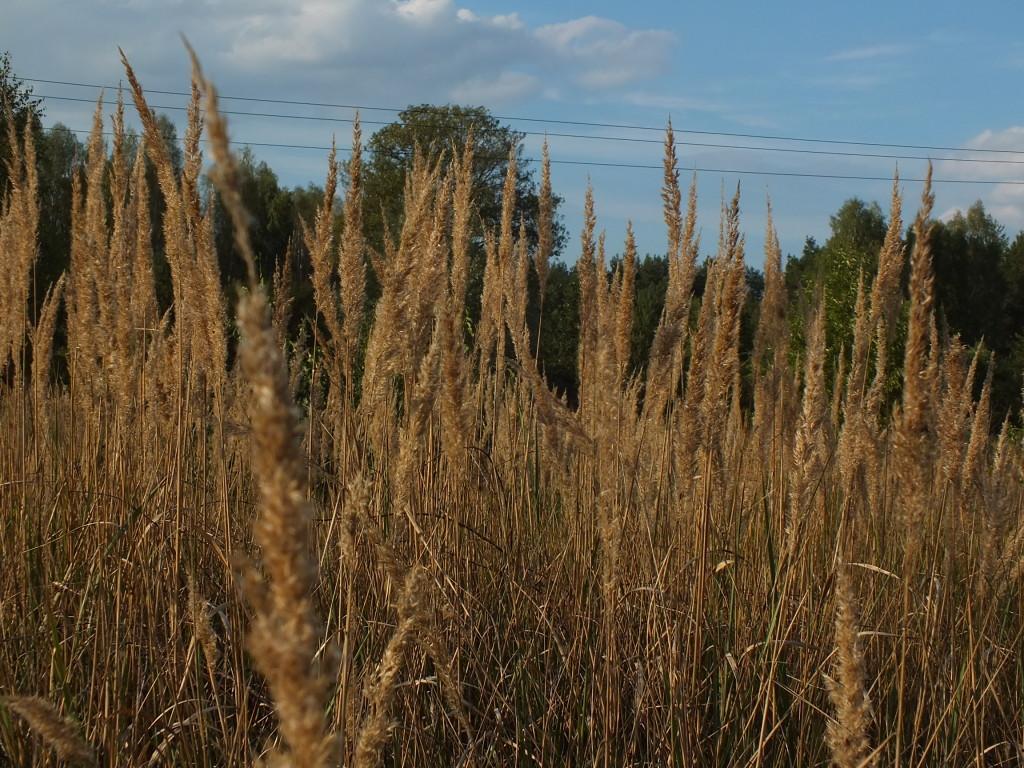 Mazowieckie trawy