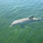 Tak, jak łabędzie w polskich miastach czekają przy brzegu rzeki na poczęstunek od ludzi, talk delfiny wpadają do mariny w Whyalla na małą przekąskę.