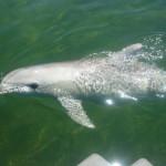 Delfiny w marinie czekają na drobnicę wyrzucaną za burtę przez rybaków.