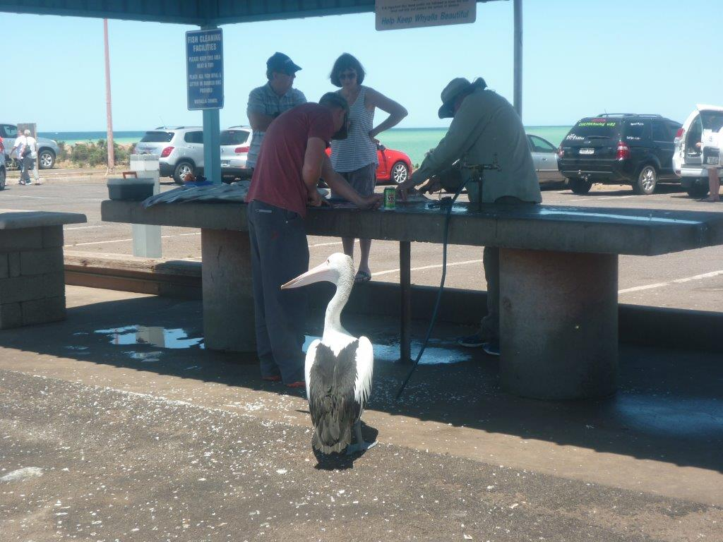 Przy stanowisku, gdzie rybacy czyszczą ryby, spokojnie na przekąskę czekają pelikany