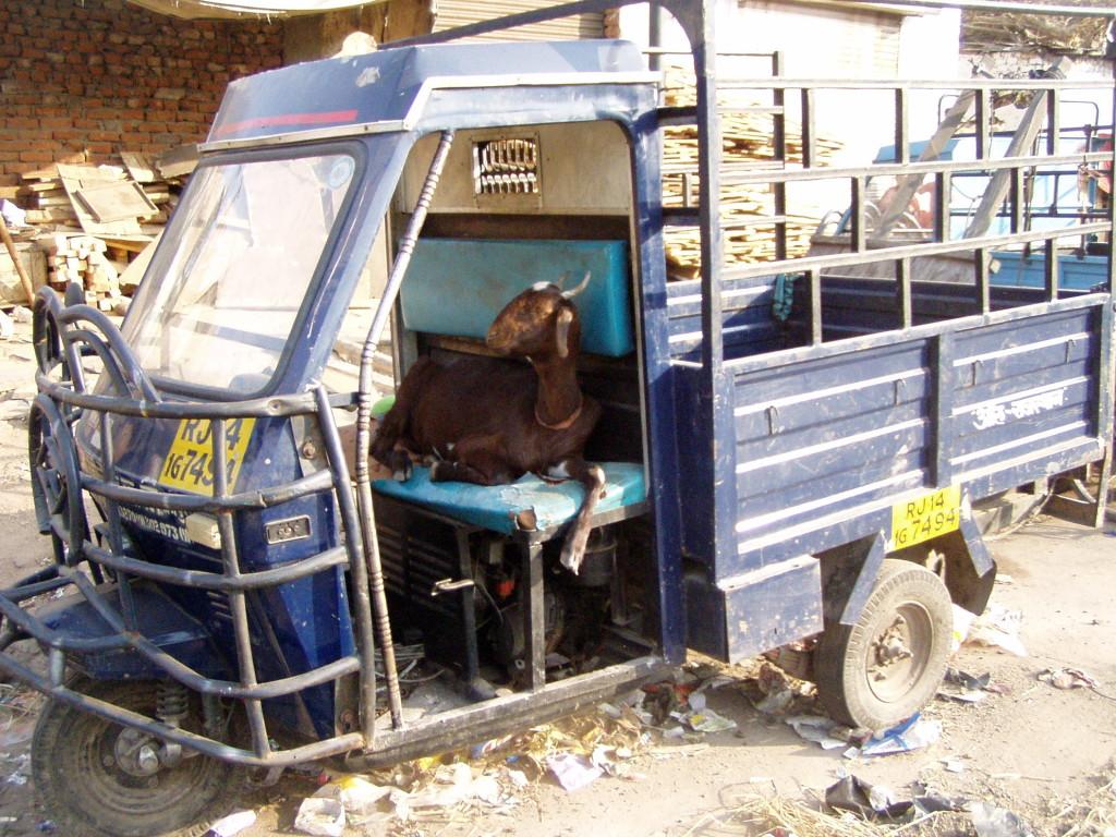 Koza zamiast kierowcy, czyli siesta kierowcy w Indiach