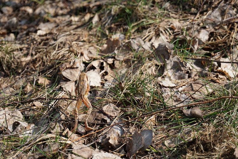 Młoda ropucha szara w Puszczy Kampinoskiej w marcu