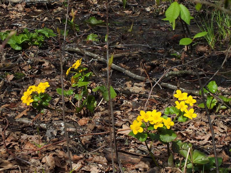 knieć błotna Caltha palustris w Puszczy Kampinoskiej