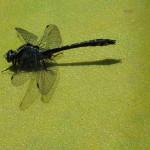 Ważka (Odonata) na dziobie kajaka