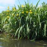 Szuwary wzdłuż Drwęcy często zdobi kosaciec żółty. Ludzi tu nie ma, żeby go zrywać, a i zwierzęta go unikają, bo zawiera substancje trujące.