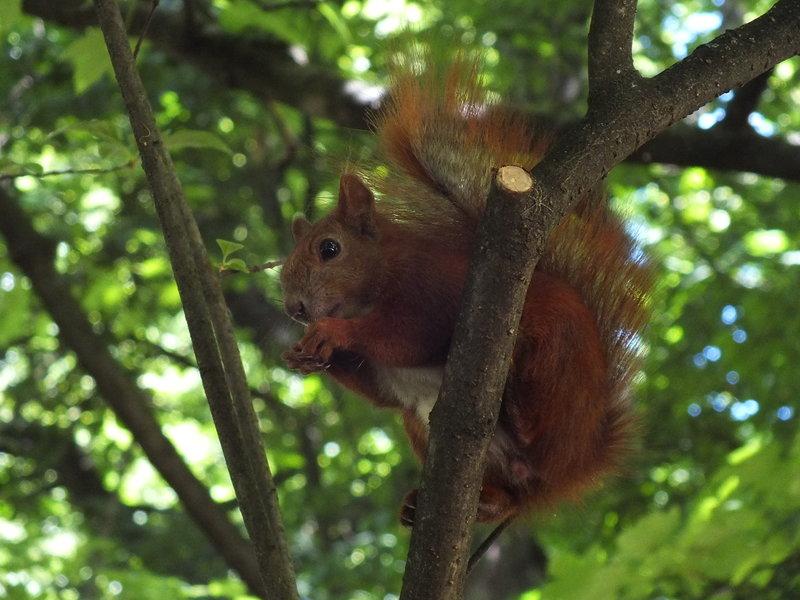 Wiewiórka w czerwcu też łasa na orzezkowe wsparcie