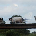 Most w Pacewie. Godzina 16.. Trzy krowy wracaja z pastwiska