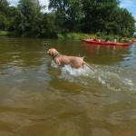 Jedyna suczka (pies) na trasie, który zamiast siedzieć na kajaku, biegł i płynął obok.