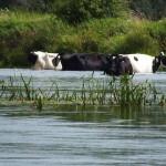 W Liwcu krowy kąpią się kiedy chcą. Może dlatego wiele jest brudnych?