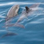 Para delfinów