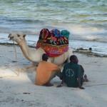 Wielbłąd ma sjestę nad Oceanem Indyjskim